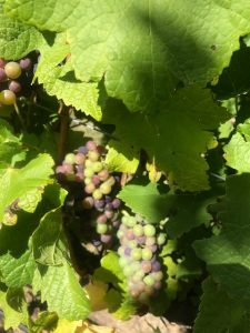 Early veraison in pinot noir grapes at Paul Henschke's vineyard