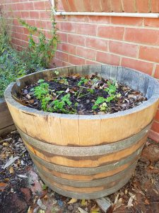 Herbs growing in a wine barrel
