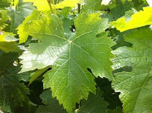 tempranillo leaf